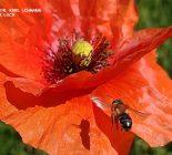 Biene (Apis mellifera)