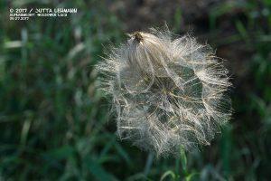 Wiesenbocksbart_Tragopogon pratensis