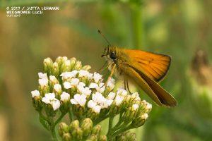 Schmetterling_Schwarzkolbiger Braun-Dickkopffalter