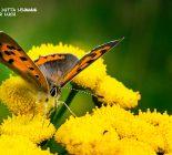 Schmetterling_Kleiner Feuerfalter
