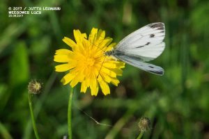 Schmetterling_Großer Kohlweißling