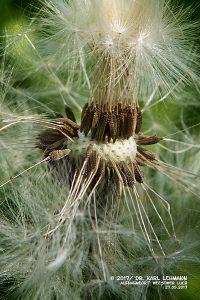Gewöhnlicher Löwenzahn (Taraxacum sect. Ruderalia)