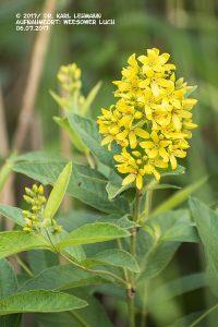 Gewöhnlicher Gilbweiderich_Lysimachia vulgaris