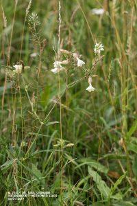 Weiße Lichtnelke_Silene latifolia