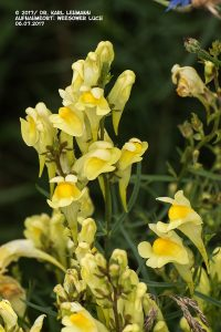 Leinkraut_Linaria vulgaris