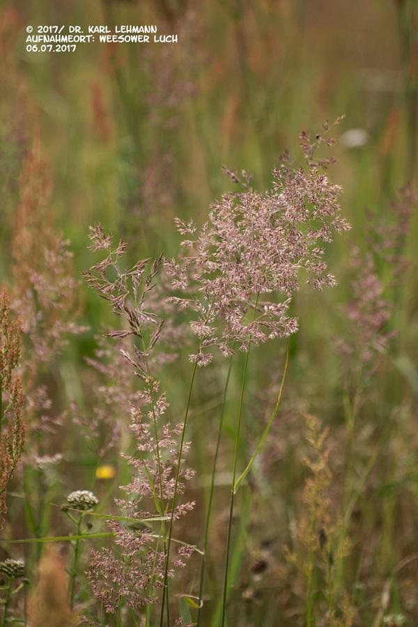 Wiesenrispengras (Poa pratensis)