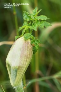 Wiesen-Bärenklau (Heracleum sphondylium)