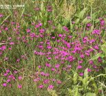 Heide-Nelke (Dianthus deltoides)