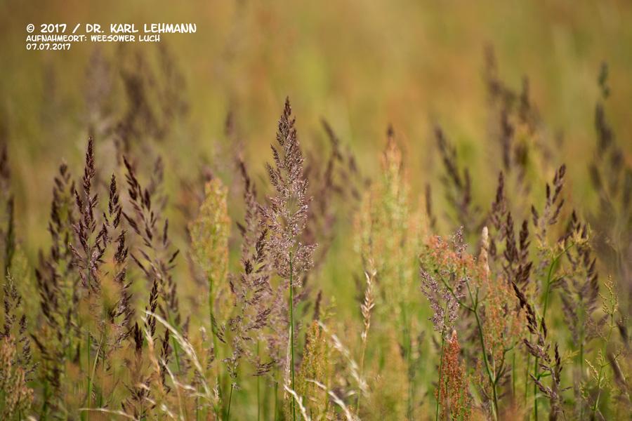 Sumpf-Reitgras (Calamagrostis canescens)