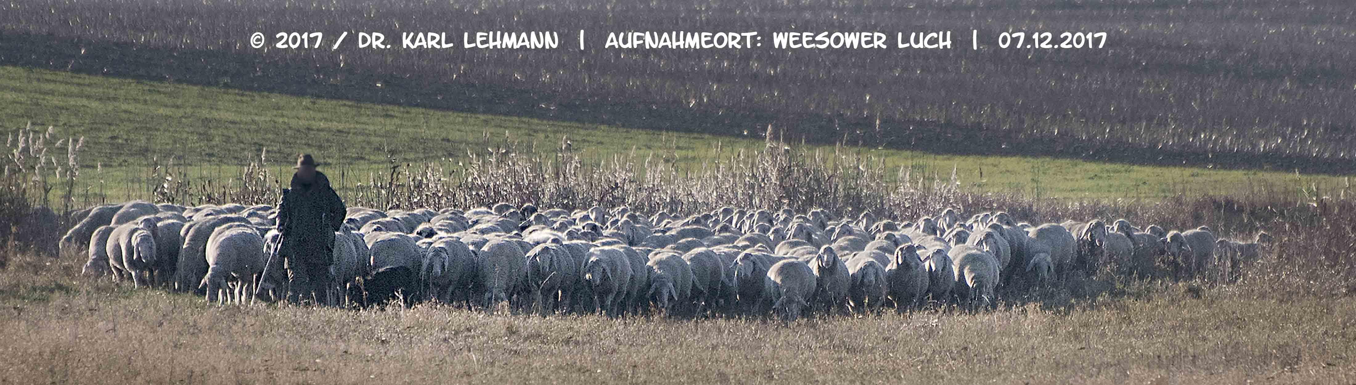 Schafe im Luch