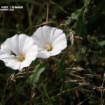 WP Acker-Winde (Convolvulus arvensis)