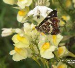 Schmetterling_Landkärtchen der Sommergeneration (Araschnia levana f. prorsa)