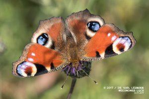 Schmetterling_Tagpfauenauge