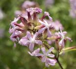 Gewöhnliches Seifenkraut (Saponaria officinalis)