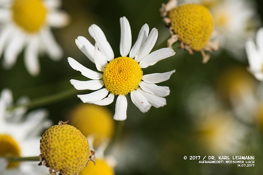 Echte Kamille (Matricaria chamomilla L.)