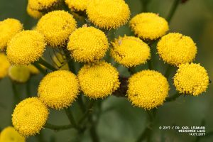 Rainfarn_Chrysanthemum vulgare