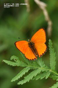 Schmetterling_Dukatenfalter