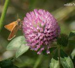 Wiesen-Klee_Trifolium pratense