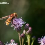 Schwebefliege (Syrphidae)