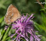 Schmetterling_Brauner Waldvogel