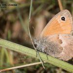 Schmetterling_Großes Ochsenauge
