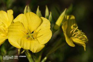Gemeine Nachtkerze_Oenothera biennis