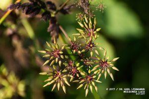 Hecken-Kälberkropf_Chaerophyllum temulum