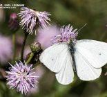 Schmetterling_Kleiner Kohlweißling