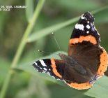 Schmetterling_Admiral
