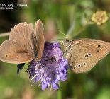 Schmetterling_Großes Ochsenauge und Schmetterling_Brauner Waldvogel