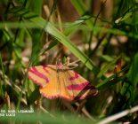 Schmetterling_Ampfer Purpurspanner