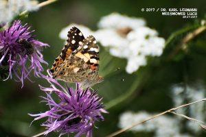 Schmetterling_Distelfalter