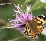Schmetterling_Distelfalter