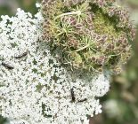 Wilde Möhre_Daucus carota subsp. carota