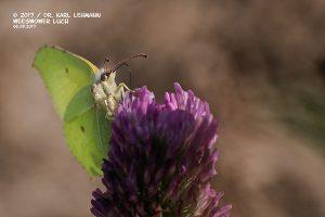 Schmetterling_Zitronenfalter