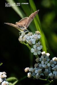 Schmetterling_Brauner Feuerfalter