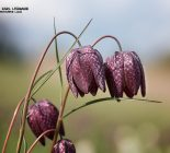 Schachbrettblume_Fritillaria meleagris