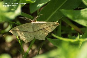 Schmetterling_Ampferspanner
