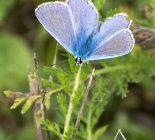 Schmetterling_Bläuling