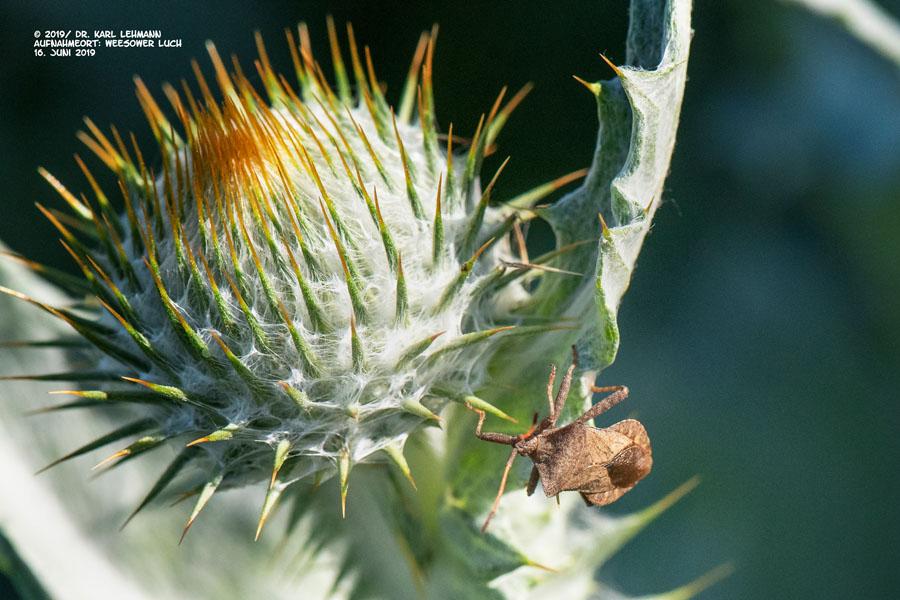Käfer an Distel
