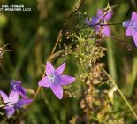 Wiesen-Glockenblume_Campanula patula